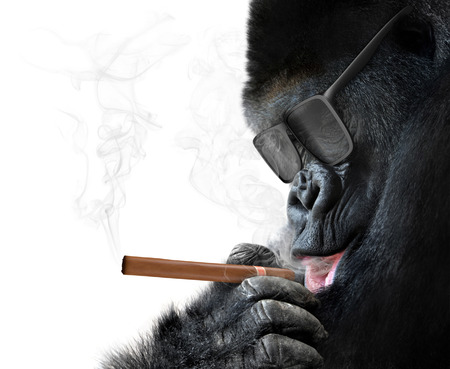 36968744 - badass gorilla with cool sunglasses smoking a cuban cigar like a boss
